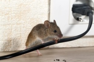 Mice Control, Pest Control in Epsom, Horton, Longmead, KT19. Call Now 020 8166 9746